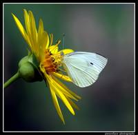 Cabbage White on Rosinweed...