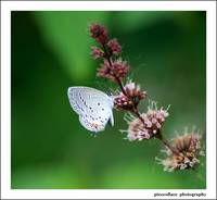 Tailed-blue on Wild Peppermint...