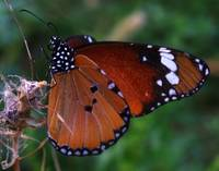 ♥ Plain tiger, Danaus chrysippus