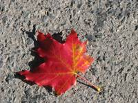 Red and gold maple leaf