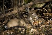 Bedded Whitetail Deer - 2 by Daniel Teetor