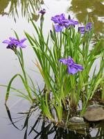 Japanese Garden Water Iris 1 by Carol Groenen