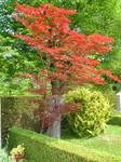 Red-orange Maple Tree