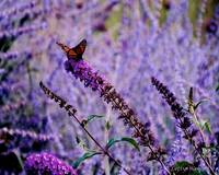 Monarch in a Purple Garden