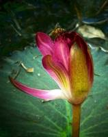 Bee on a Water Lilly 1_filtered