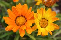 orange and yellow flowers close up