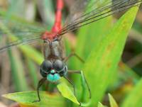 Blue-faced Meadowhawk III
