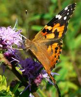Painted Lady on Wildflower