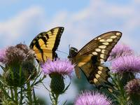 A Giant Swallowtail and an Eastern Tiger Swallowta