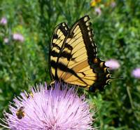 Tiger Swalowtail on Thistle with Bee