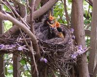 Baby Robins 124