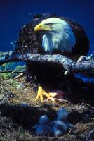 eagle feeding two eaglets