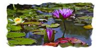 Pink Water Liliy Panorama