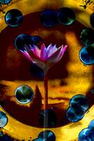 Pink Water Lily Abstract on Gold