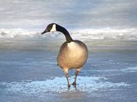 A lone Canada goose in spring