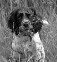 Dexter the Springer Spaniel