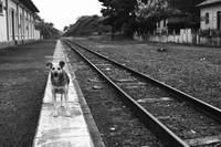 Dog on the Road (or railway)