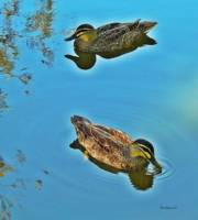 two ducks 2 Queensland Australia