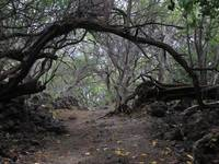 Forest arch, Maui