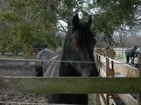 Friesian picture