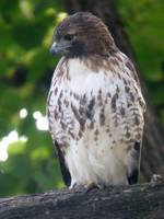 Red-tailed Hawk in Cemetery