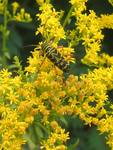 Locust Borer and Goldenrod