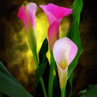 Pink Cala Lilies Art Prints & Posters by Celia Durand