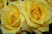 twin yellow roses