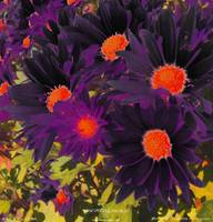 WOW! PURPLE DAISES