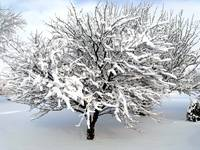 Cherry Tree in Snow