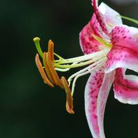 more lily stamens