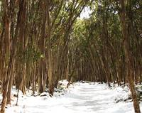 Gum Trees at Lake Mountain