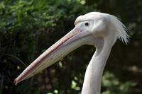 Close up of the head of a white pelican