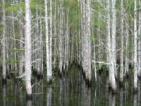 Cypress Trees at the Edge of the Jane Green Swamp
