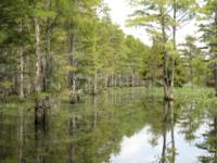 Cypress Trees on the Edge of the Jane Green Swamp