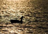 Goose in sunset