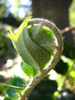 Fiddlehead fern - the bashful child