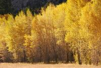 Aspen trees, near St. Elmo Colorado