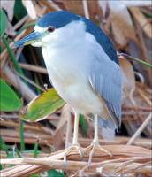 Night Heron Stand