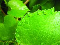 grape_leaf_tiara
