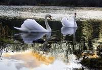 Cape Cod Mute Swans