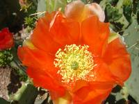 Single Flower on Prickly Pear