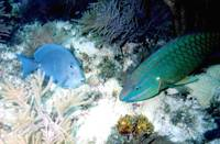 Blue Tang and Parrotfish