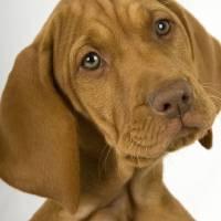 """""""Puppy Vizsla"""" by DavidPage"""