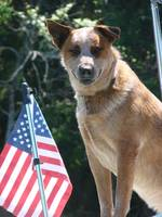 Patriotic Dingo Large File