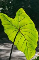 Giant Green Leaf