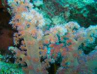 Fiji SoftCoral