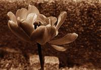Brown Tinted Tulip With Stones