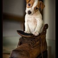 """Jack Russell in a boot"" by bevmichel"