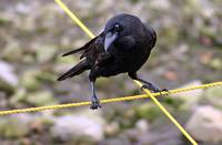 Crow at crossroads